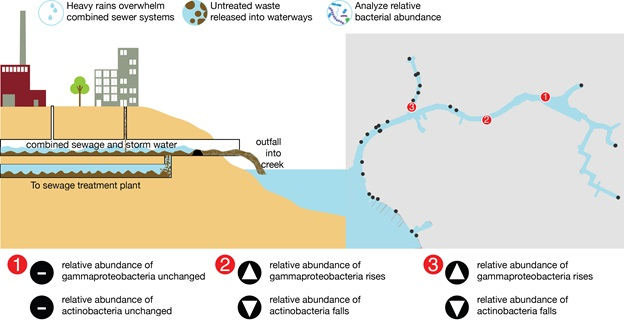 Bacterial diversity impacts as a result of combined sewer overflow in a polluted waterway