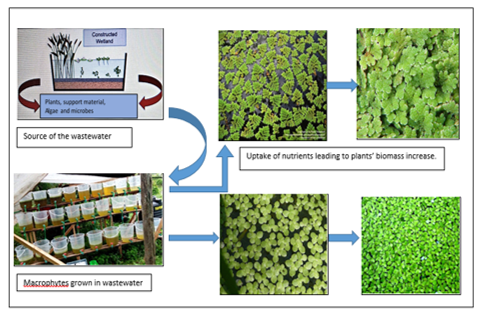 Nutrient removal efficiency by floating macrophytes; <i>Lemna minor</i> and <i>Azolla pinnata</i> in a constructed wetland