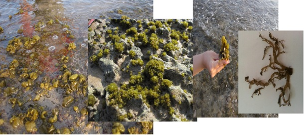 In vitro investigating of anticancer activity of focuxanthin from marine brown seaweed species